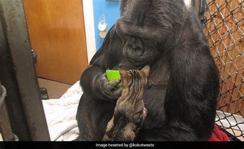 Koko, The Beloved Gorilla That Learned To Communicate