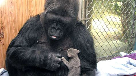Remembering Koko, the Beloved Gorilla Who Learned to