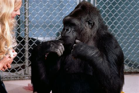 Koko, the gorilla that learned sign language, dead   West